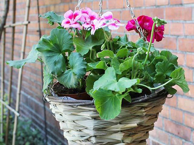 Hanging basket 19,95